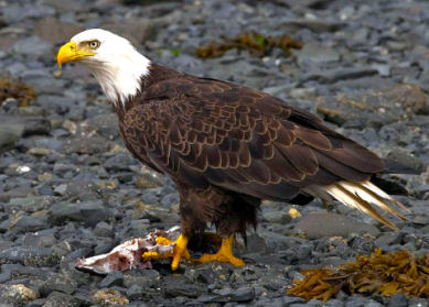 Bald Eagle With Its Prey