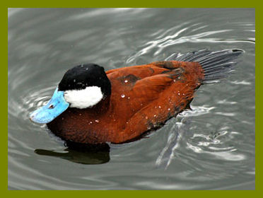 Ruddy Ducks Are Endangered And Efforts Are Being Made To Save Them and Their Habitat.